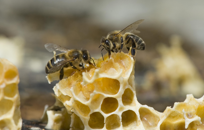 Les abeilles noires, précieuses butineuses locales. Photo : Thierry Vezon.