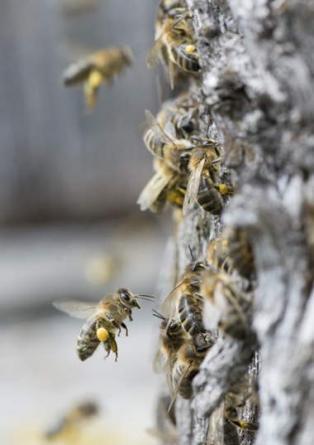 Les abeilles noires, objets d'une étude juridique pour POLLINIS.
