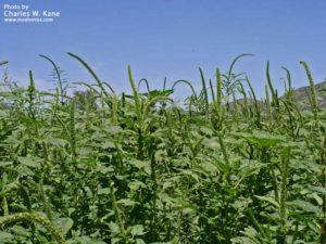 L'Amaranthus Palmeri, qui envahit les champs de soja OGM aux États-Unis.